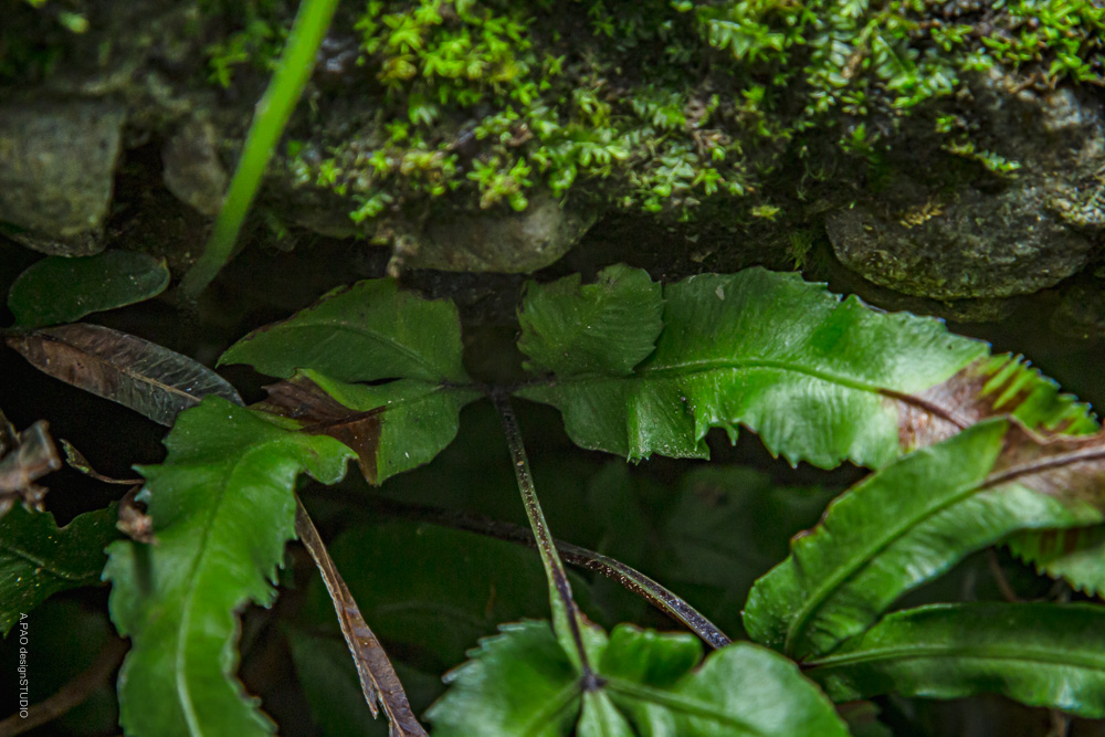 城戶氏鳳尾蕨,葉柄黑褐色